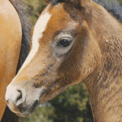 MULAWA CHANCE as a foal