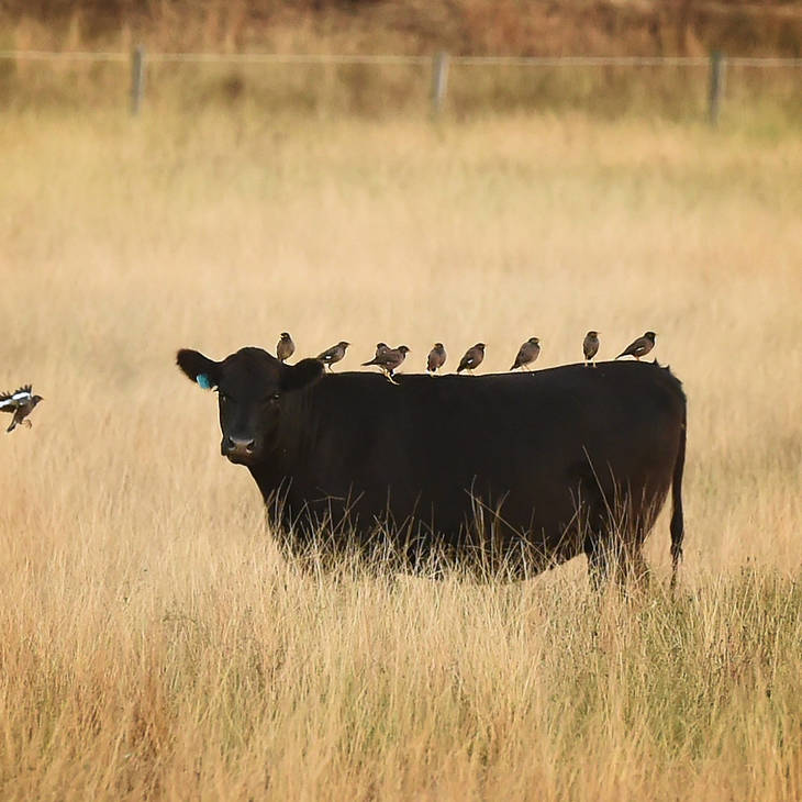Angus Cattle at Alabama