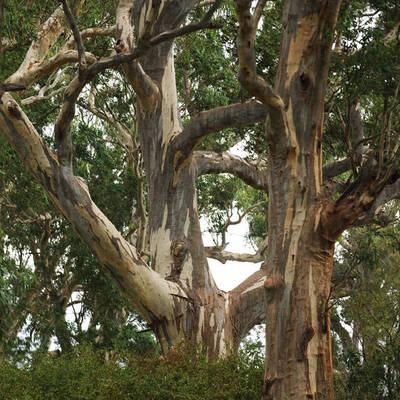 Trees at Alabama