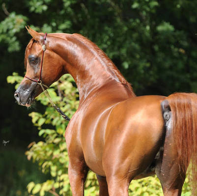 ABHA QATAR | Sire of PROCESSION MI