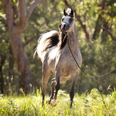 KLASSICAL DREAM MI | 2014 Australian National Champion Senior Mare
