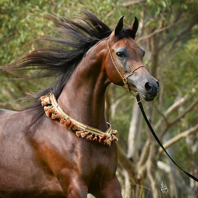 ALWAYS VALENTINE MI | 2015 Australian National Champion Senior Mare