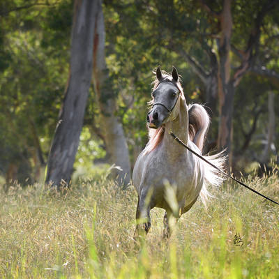 KLASSICAL PRESENCE MI | 2016 Australian National Gold Champion Senior Mare