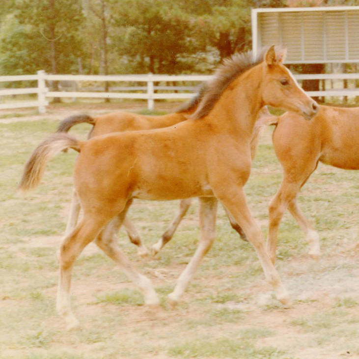MULAWA THE QUEST a as foal