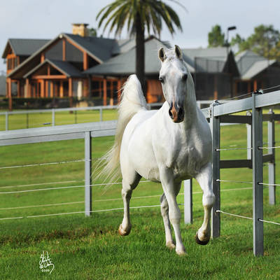 TS AL MALIK | Sire of KOUNTESS MI