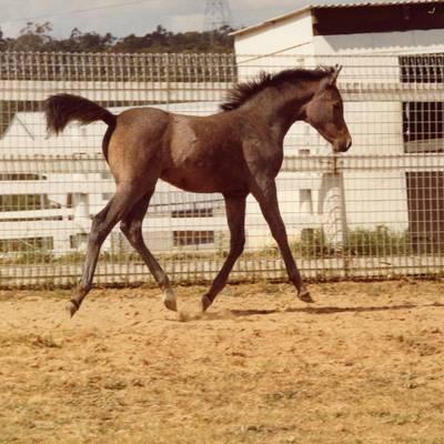 MULAWA FANTASY as a foal