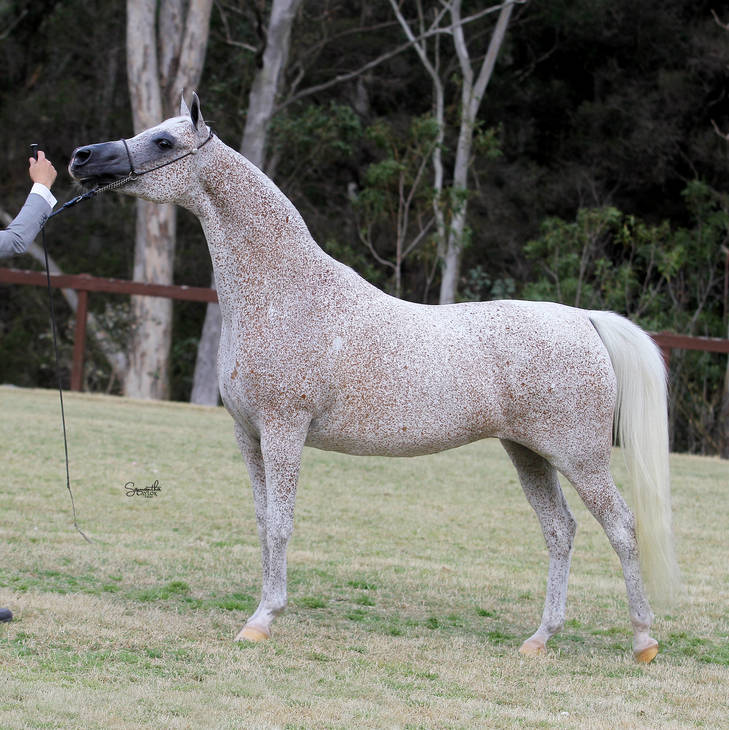 CHANCE TO DANCE | Dam of KLASSICAL CHERISH MI