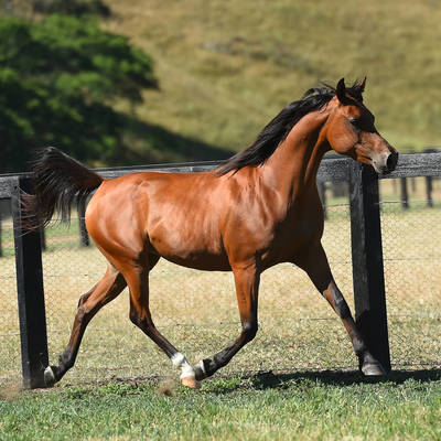 ANADREAM MI Joins DaMar Arabians
