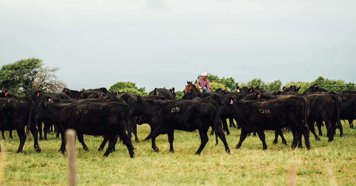 Osage Nation Ranch beef available at market this spring