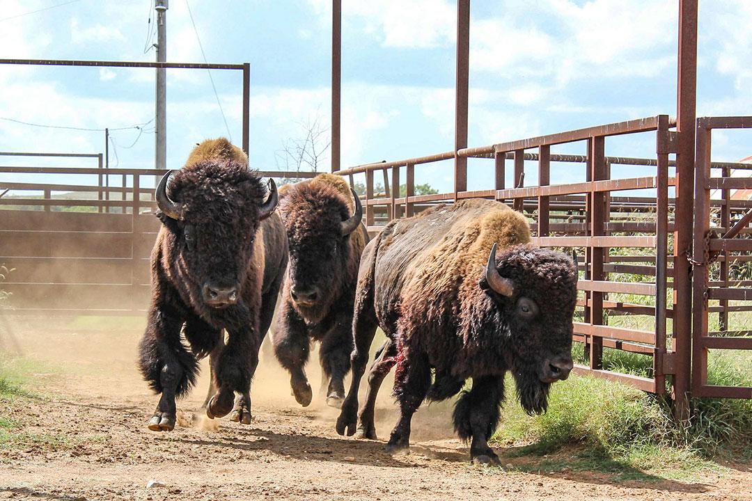 Osage Nation receives second shipment of bison at Bluestem Ranch