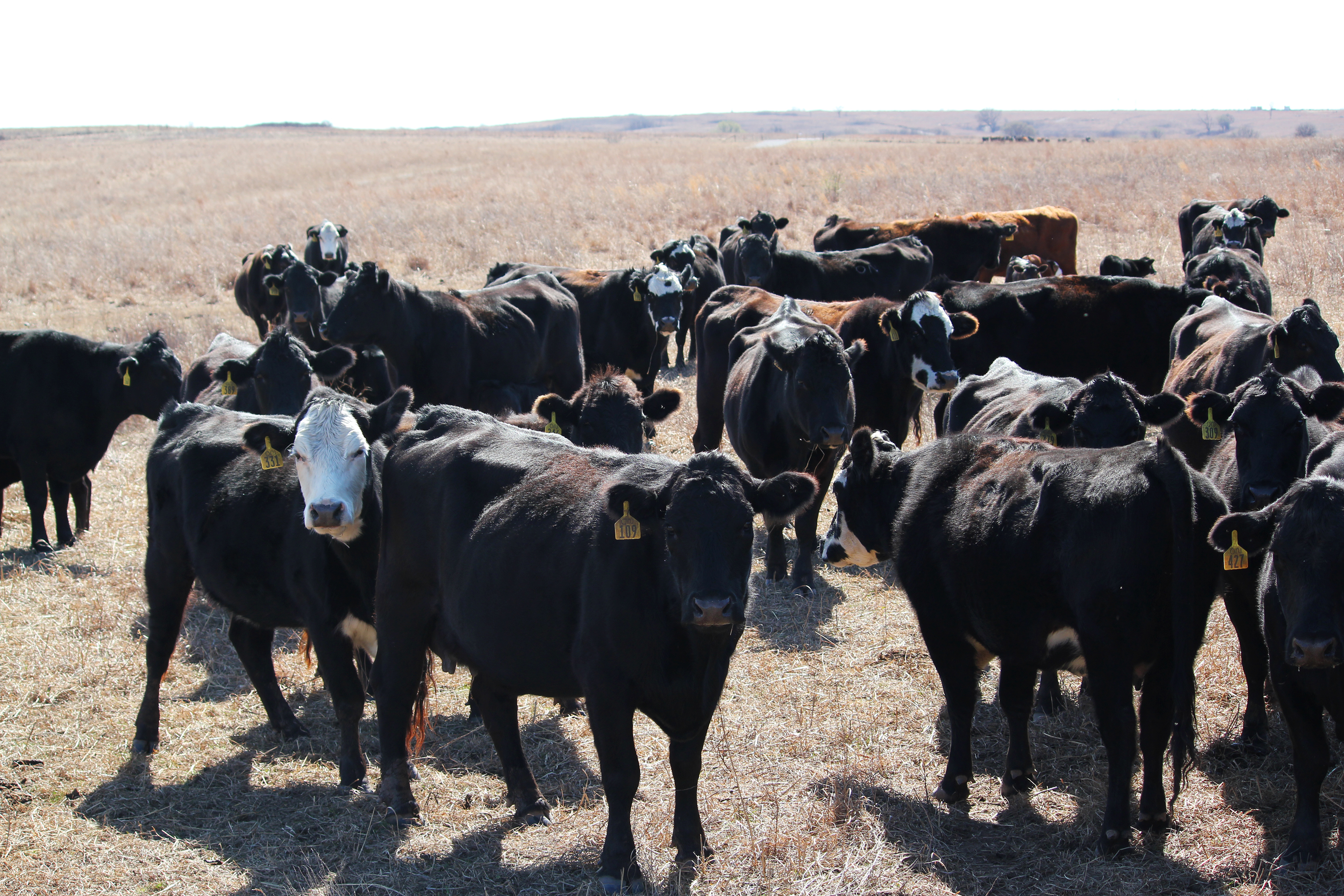 Cattle operation underway on Bluestem Ranch; Nation owns 800 cows, 40 bulls and nearly 200 calves