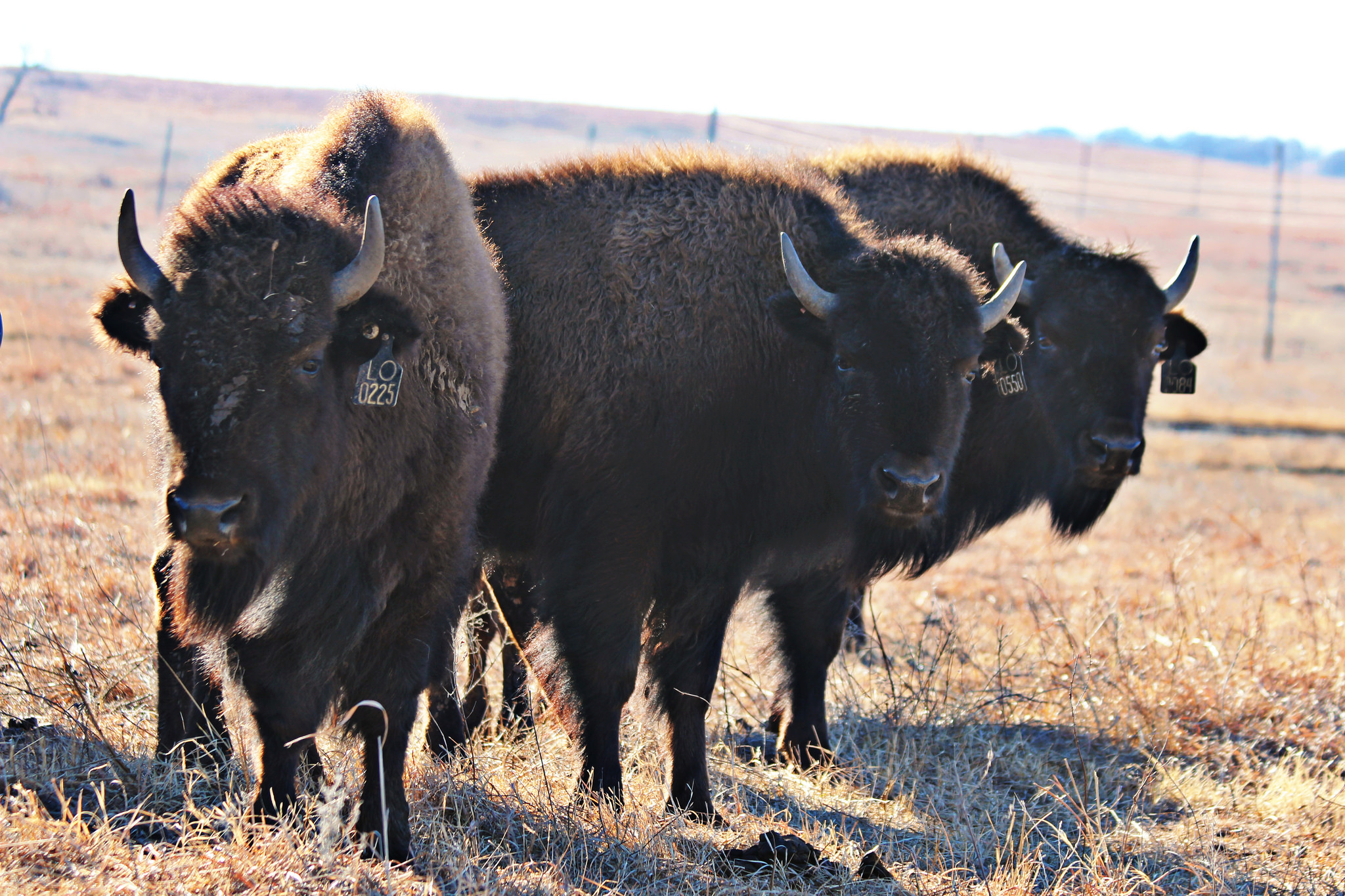 Bluestem Ranch board and Standing Bear at odds over bison