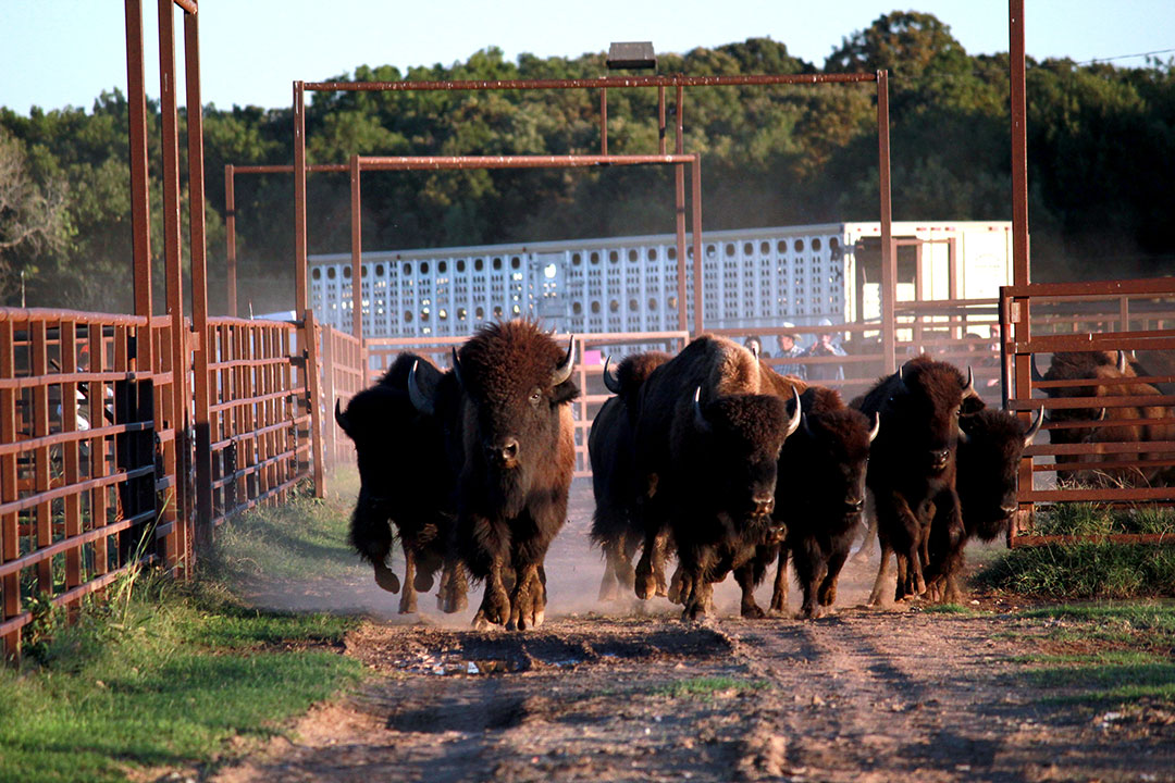 Osage Nation receives its first shipment of bison
