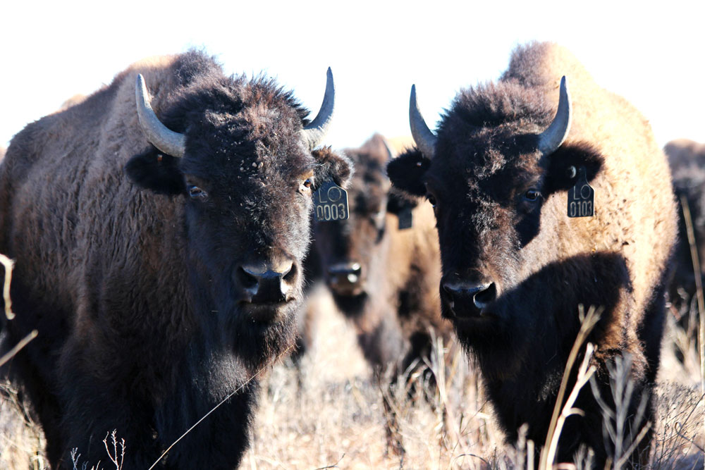 Osage Nation wins bid to purchase Ted Turner's 43,000-acre Bluestem Ranch