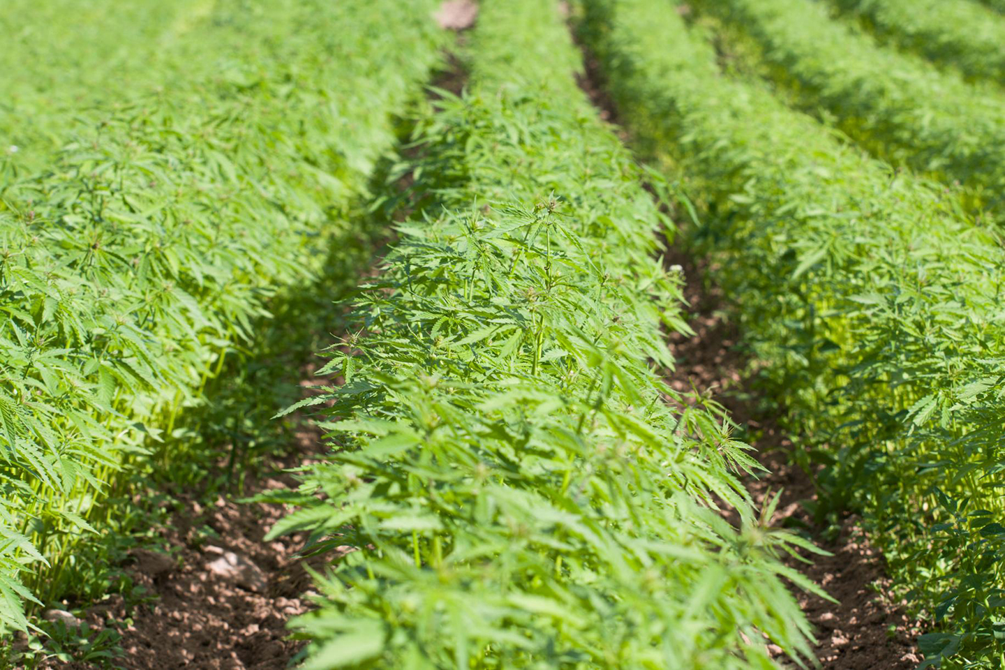The Osage Nation is 'exploring all options' when it comes to Industrial Hemp