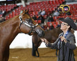 Color Breeds Eligible For 2017 Elite Halter Futurity!