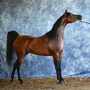 Ghazala El Jamaal becomes a Rose City Arabian!