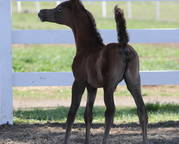 Filly by Mishaal x Bellareena El Masr