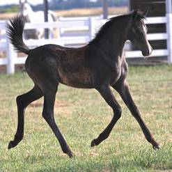 2015 Nefertaari Filly