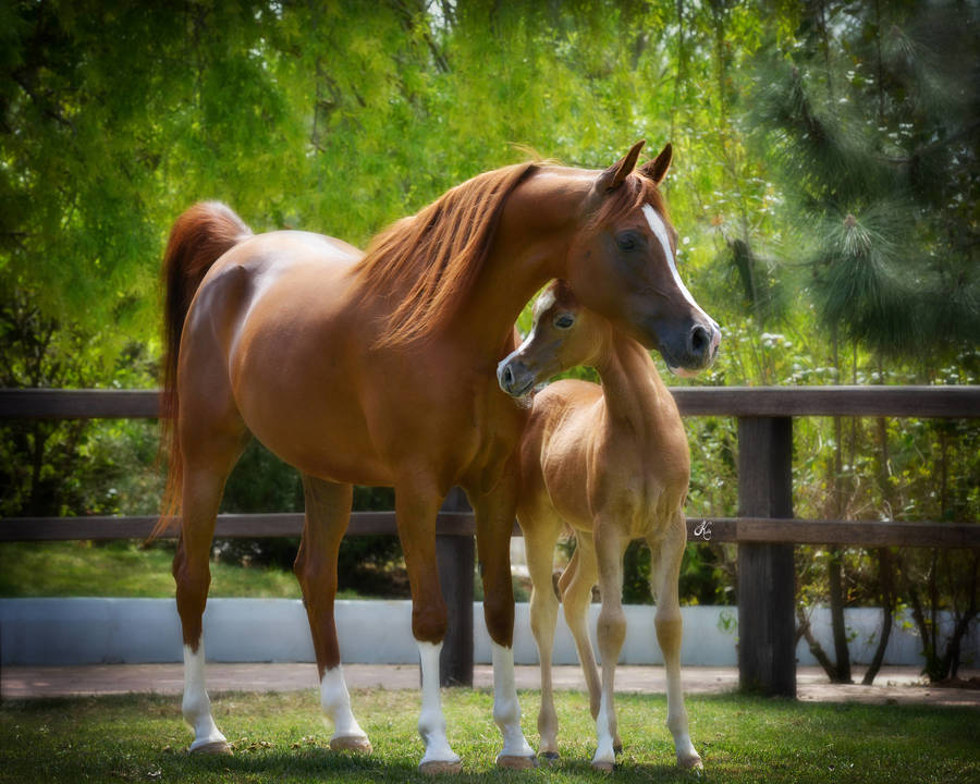 Manar Jaafar as a foal with her mother VDS Marea De Niche