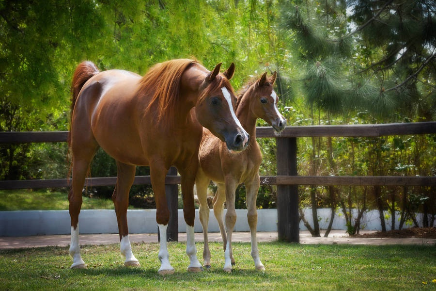 Marea with 2013 filly Manar Jaafar