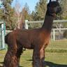 Cria's Sire:  Andean's Pegasus of Country Estates -  3x IAO Color Champion