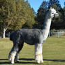 Female Cria's Sire: ESTATES GRAY BEARD
