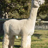 SERVICE SIRE:  SNOWMASS MAJESTY IN MOONLIGHT