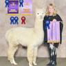 1/2 sister, Alpaca Palace's Beautiful Bella, Lot 1 2017 Royal Progeny sold to LCF
