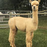 Alpaca Palace's Magic Anica