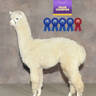 Alpaca Palace Houdini's Harlow