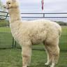 Alpaca Palace Legendary Greta Garbo - Full Fleece