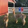 Alpaca Palace Houdini's Harmony with male cria Alpaca Palace Zagato's Zhi (3-in-1 package)