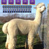 Suggested Service Sire:  Alpaca Palace's Houdini