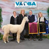 Alt. Suggested Service Sire: Presto Perfecto of Alpaca Palace