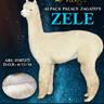 Full Brother:  Alpaca Palace Zagato's Zele