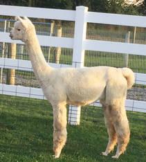Alpaca Palace's The Duchess