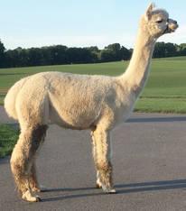 Alpaca Palace Troubadour's Celebrity