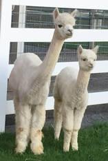 Alpaca Palace Houdini's Vixen & Female cria Zeta