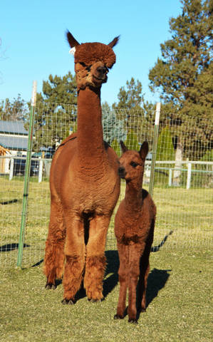 ESTATES MAGIC MOON & FEMALE CRIA