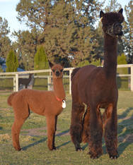 3 in 1 SAPHIRE SYMPHONY & FEMALE CRIA