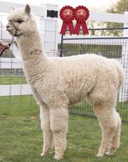 Alpaca Palace Zagato's Zoe