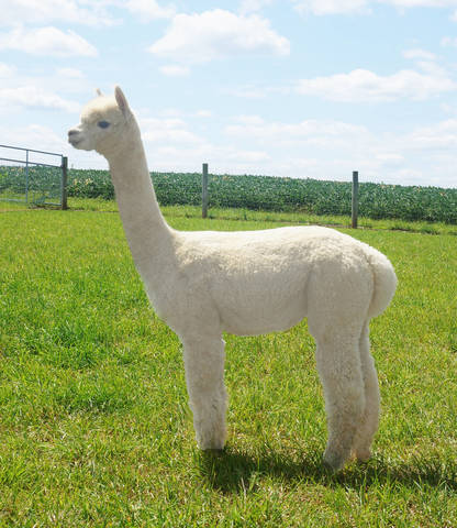 Alpaca Palace's Zilly