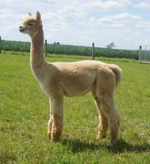 Alpaca Palace Zagato's Zeela