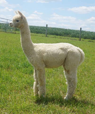 Alpaca Palace Presto's Heidi Ho