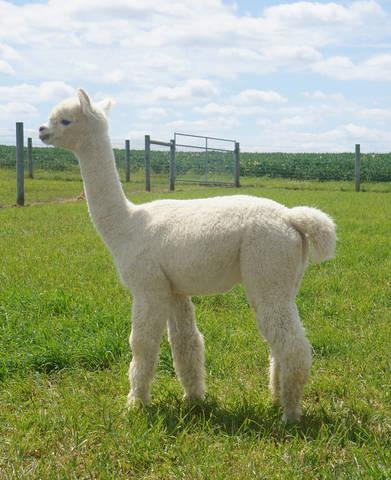 Alpaca Palace's Magic Allure