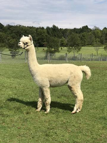 Heather's Acre Accoyo Princess