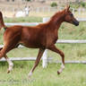 FS Pending (*Fausto CRH (USA) x FS Tallulah by *Simply Red SC (USA))