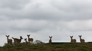Deer on Trophy Ranch, Ltd. in Terrell, Texas.
