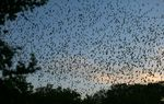 Though bats in Texas appear untouched by a fungus that has decimated populations in the Northeast and Midwest, the disease is spreading west. Now, however, researchers have a powerful tool to track the spread of the disease.